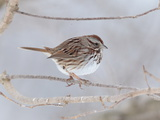 A Song Sparrow  Melospiza Melodia  Perched on a Tree Branch