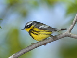 Male Magnolia Warbler  Dendroica Magnolia  in Full Breeding Color