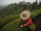 A Crew Picking Tea at Sichuan Agricultural University Fields