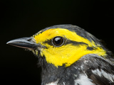 An Endangered Golden-Cheeked Warbler  Dendroica Chrysoparia