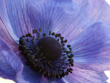 Close Up of a Blue Anemone Flower