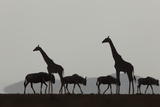 Silhouetted Giraffes and Blue Wildebeests under a Cloud-Filled Sky