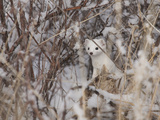 A Short-Tailed Weasel or Ermine  Mustela Erminea