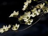 Close Up of a Pacific Dogwood Tree in Bloom