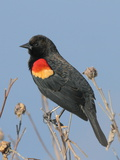 A Male Red-Winged Blackbird  Agelaius Phoeniceus  in Low Vegetation