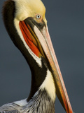 Close Up Portrait of a Brown Pelican  Pelecanus Occidentalis