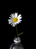 A Oxeye Daisy  Leucanthemum Vulgare  in a Soda Bottle