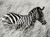 A Plains Zebra Wades Through the Thick and High Grasses of Africa