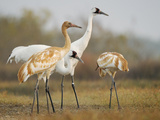 Whooping Crane Parents with Twin Chicks at Wintering Grounds