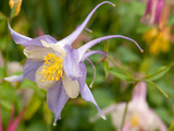 Close Up of a Columbine Flower  Aquilegia Species  in Spring