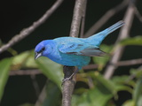 Portrait of an Indigo Bunting  Passerina Cyanea  Perched on a Twig
