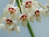 Close Up of White and Red Hoya Flowers