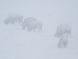 Bison Grazing in a Winter Snowstorm
