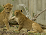 Lion Cubs  Panthera Leo  Socializing and Play-Fighting