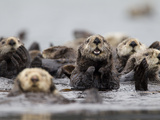 A Group of Northern Sea Otters  Enhydra Lutris Kenyoni