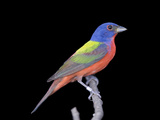 A Male Painted Bunting  Passerina Ciris
