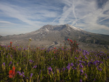 Wildflowers Bloom on a Hill Near the Dome of Mount Saint Helens