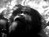 Portrait of a Lowland Gorilla  Gorilla Gorilla