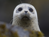 Portrait of a Harbor Seal  Phoca Vitulina