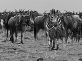 Migrating Burchell's Zebras and Wildebeests