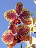 Close Up of Two Orchid Flowers  Phalaenopsis Species
