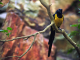 Golden-Breasted Starling  Cosmopsarus Regius  Perched on a Tree Branch