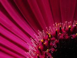 Close Up of a Pink Gerbera Daisy  Gerbera Species