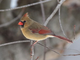 A Female Northern Cardinal  Cardinalis Cardinalis  Perched on a Limb