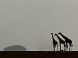 A Trio of Silhouetted Giraffes  Giraffa Camelopardalis