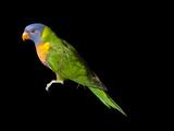 A Rainbow Lorikeet  Trichoglossus Haematodus