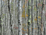 A Thicket of Tree Trunks Amid Fall Foliage