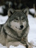An Alpha Male Gray Wolf of the Sawtooth Pack with a Bone