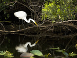 A White Egret Hunting in the Shadows in a Swamp Papier Photo par Mauricio Handler