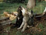 Three Young Male Gray Wolf Pups Howl Papier Photo par Jim And Jamie Dutcher