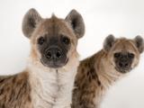 Spotted Hyenas  Crocuta Crocuta  at the Sunset Zoo