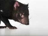 An Endangered Tasmanian Devil  Sarcophilus Harrisii