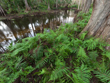 Cypress Trees and Ferns Grow on the Banks of the Loxahatchee River