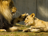Male African Lion and Cub  Panthera Leo  Socializing