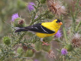 A Male American Goldfinch  Spinus Tristis  Perched on a Thistle