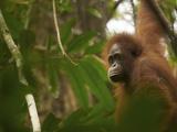 A Young Female Bornean Orangtan  Pongo Pygmaeus