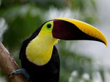 Close-Up of a Chestnut-Mandibled Toucan  Ramphastos Swainonii