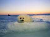 "A Baby Harp Seal Rests on a ""Pillow"" of Ice"