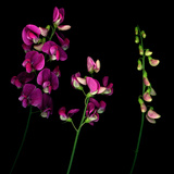 High Resolution of Sweet Pea Flowers in Stages of Openness