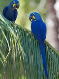 Hyacinth Macaws  Anodorhynchus Hyacinthinus  in a Palm Plant
