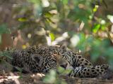 Jaguar  Panthera Onca  Resting in Shade