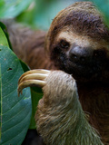 Portrait of a Brown-Throated Three-Toed Sloth  Bradypus Variegatus