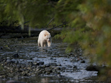 A White-Coated Kermode or Spirit Bear Fishes for Salmon