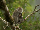 Mother and Nursing Infant Long-Tailed Macaque in a Strangler Fig