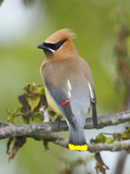 A Male Cedar Waxwing in Breeding Color on a Tree Branch
