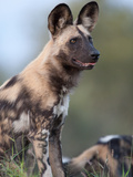 An Alert African Wild Hunting Dog  Lycaon Pictus